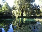 Weeping willow next to pond by Sheenah