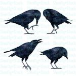 Crow Stock Pack 1 by Shoofly-Stock