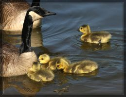 Canada Geese 40D0004661 by Cristian-M