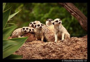 Meerkats: Group shot by TVD-Photography