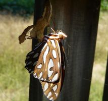 Newly Arrived Fritillary by duggiehoo