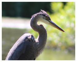 Blue Heron 1 by bensinn