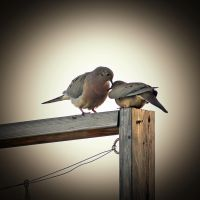 Love Doves by rare2bme