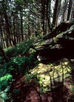 Mt Mitchell Forest Floor by rdswords