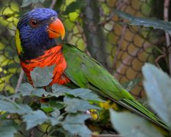 Lorikeet Lovin' III by Misty-Dawn