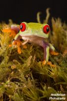 Frog on moss by AngiWallace