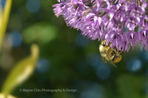 Bumble Bee by wayner8088