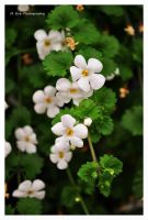 The Little White Ones by erbphotography