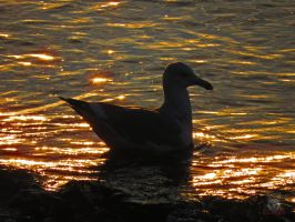 Seagull Shadow Swimming by wolfwings1