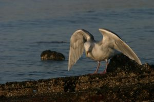 Seagull by aRetrodude