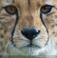 The Cheetah 0708n by Haywood-Photography