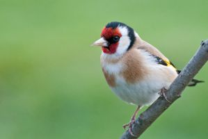 Goldfinch 5 by fremlin