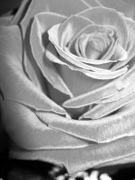 V Day rose by TomCampbell
