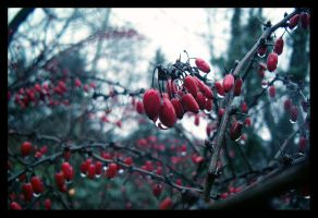 Winter Berries by xchildish