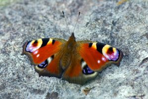 Peacock (Inachis io) by Steve-FraserUK
