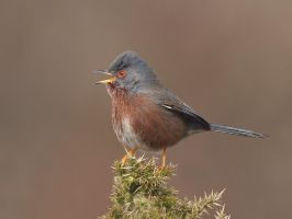 Dartford Warbler by Jamie-MacArthur
