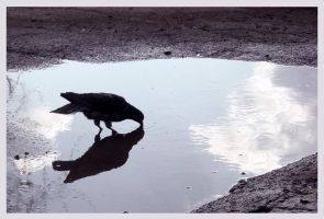 A Pigeon in a Puddle by metrogirls
