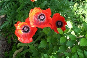 poppies in my garden by ingeline-art