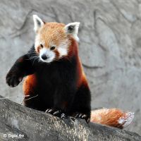 Red Panda 0923 by CrystalAnnPhotos
