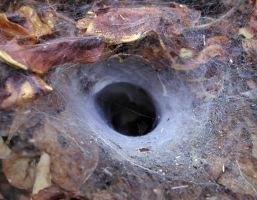 Funnel Web by Orrutpluks