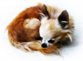 Little foxy or Chihuahua by Ranlinde