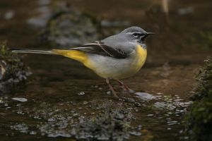 Grey Wagtail by Jamie-MacArthur