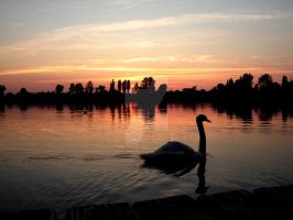 lonely swan by transcendentna