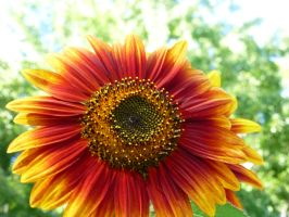 Sunflower (1) by salvadorsam