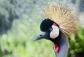 Grey Crowned Crane by jackie-dd