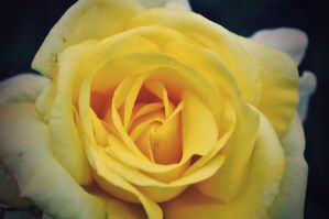 Yellow Rose by this-is-the-life2905