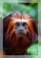 Golden-Headed Lion Tamarin by RoyallyCrimson