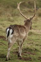 Deer Stock 09 by Malleni-Stock