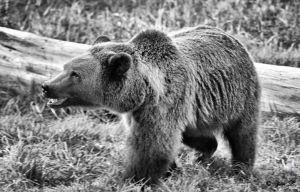 brown bear 2 by Yair-Leibovich