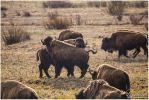 Bison Tussle by ThisWomanWanders