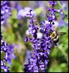 Purple bee by Roland3791