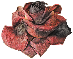 Dead Rose PNG by KarahRobinson-Art
