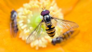 Hoverfly IV by sixtyfour