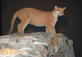Mountain Lion : Mounted by SalsolaStock