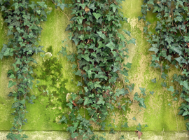 Ivy wall by Mad-Popietro