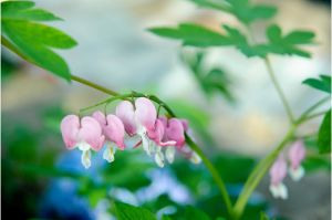 Bleeding Hearts by AndersonPhotography