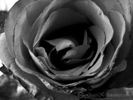 Just a Rose by gracek