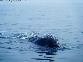 Southern Right Whale VII by Cansounofargentina