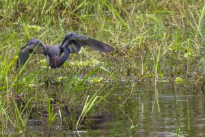 Tricolor heron hunting by LordMajestros