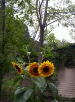 Sunflowers and Tree by MindOfPain