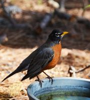 Robin3-16-13 by Tailgun2009