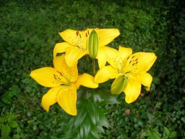Yellow lilly by OldBoogie
