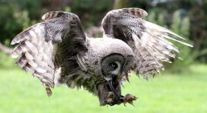 Great Grey Owl by hoodoo