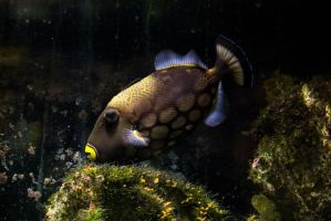 Trigger Fish by Maltese-Naturalist