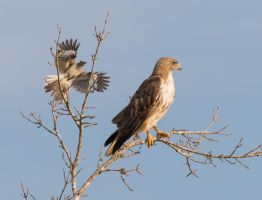 Red-tailed Hawk and the Mockingbird by RickDunlap2