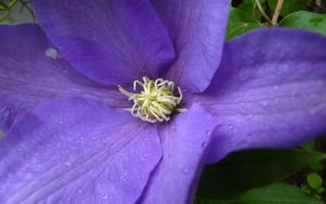 clematis 1 by Beausoliel